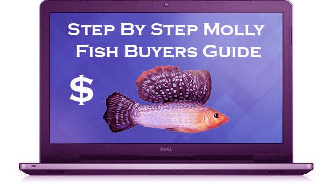 Buy Mollies Online – Things to Know Before Buying a Fish