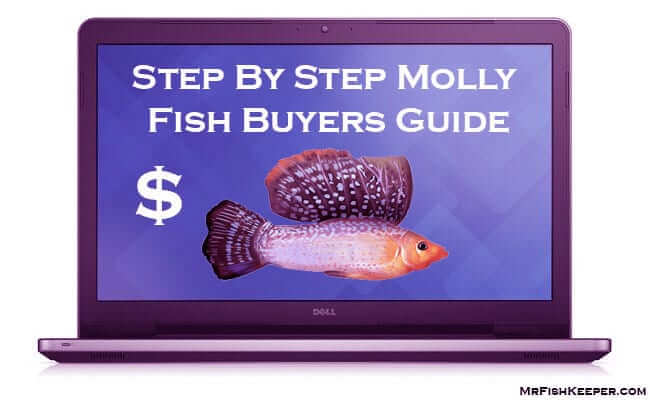 Buyer's Guide to Molly Fish