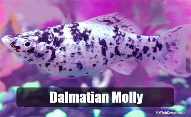 Dalmatian Molly