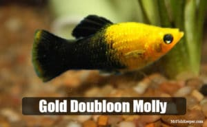 Gold Doubloon Molly