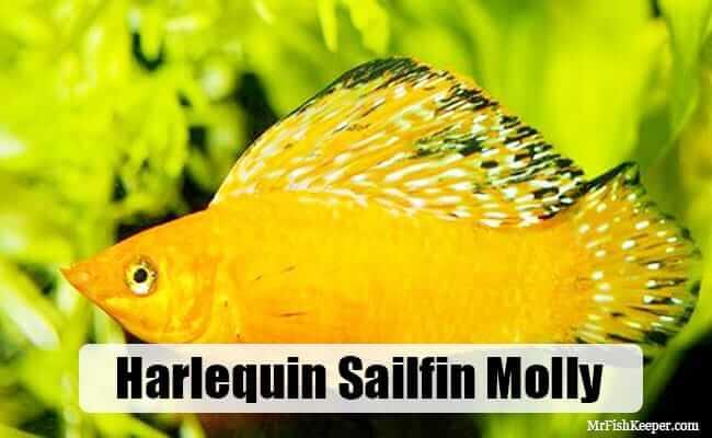 Harlequin Sailfin Molly