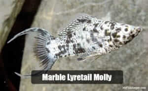 Marble Lyretail Molly