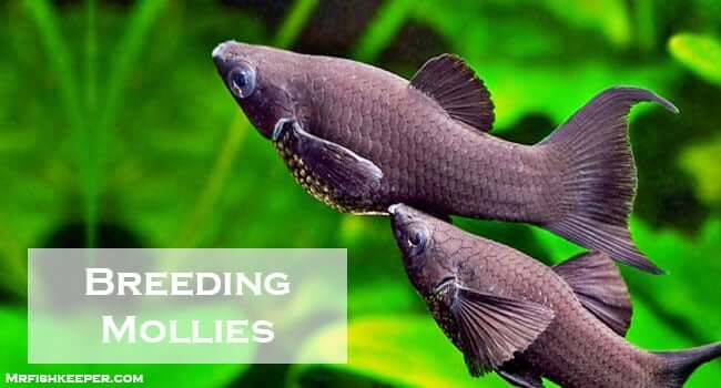 How to Breed Mollies & Caring Pregnant Molly [The Right Way]