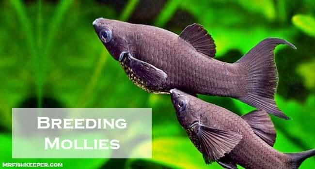breeding mollies