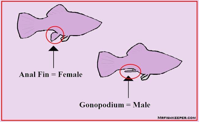 molly fish Gender