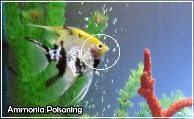 Ammonia Poisoning