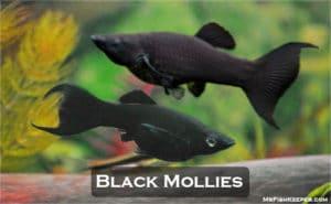 Black Molly Fish (Care, Diet, Tank Setup, Breeding & Tank Mates)