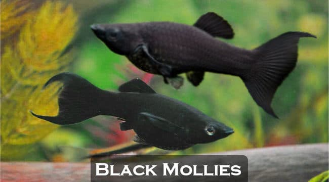 Black Molly Fish (Care, Diet, Tank Setup, Breeding & Tank Mates)