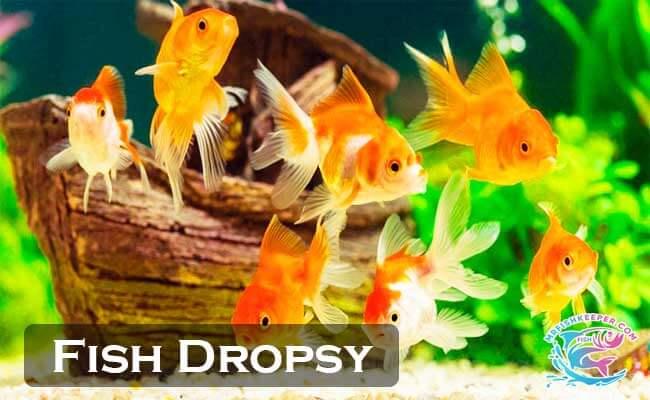 Fish Dropsy Causes Symptoms Treatment Prevention