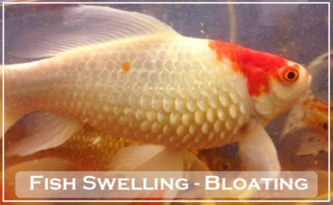 Fish Swelling Bloating