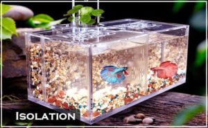 Fish isolation tank