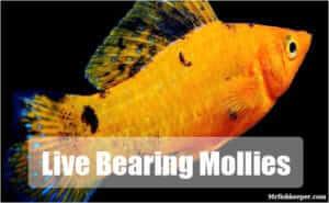 Live bearing Mollies
