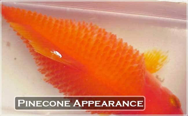 Pinecone Appearance in Fish