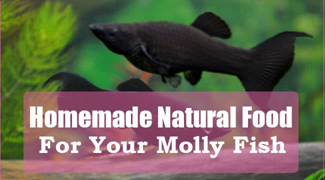 How to Prepare Natural Homemade Food for your Mollies?