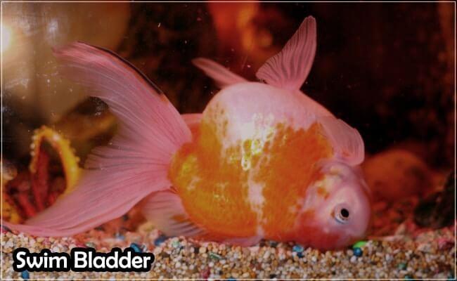 Swim Badder in Tank Fishes
