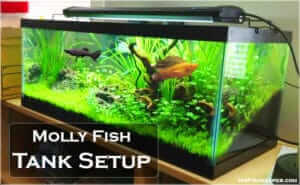 How to Setup Right Tank for mollies? (Choosing Best Habitat)