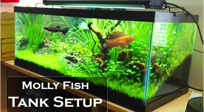 Molly Fish: How to setup tank for mollies in Right Way?