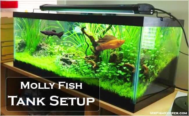 How to Setup Proper Fish Tank For Mollies? 2019