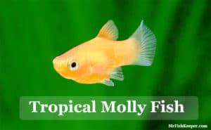 Molly Fish (Care, Types, Feeding, Tank Setup, Tank Mates & Breeding)