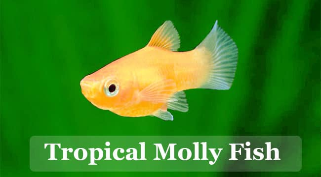 Molly Fish (Care,Types,Feeding,Tank Setup,Tank Mates & Breeding)