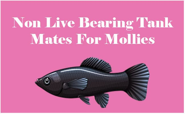 Non-Live-bearing Tank Mates for Molly Fish