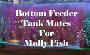bottom feeder tank mates for mollies