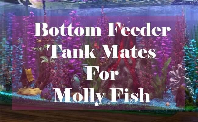 bottom feeder tank mates for mollies