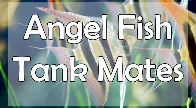 11+ Best Angelfish Tank Mates For Freshwater Aquarium [Updated Guide]