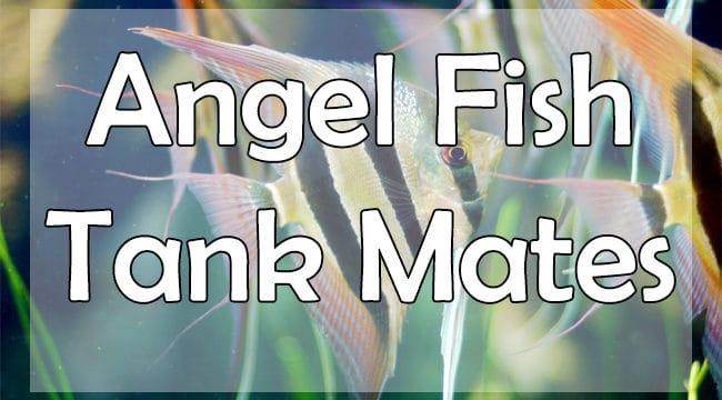 11+ Best Angelfish Tank Mates For Freshwater Aquarium [Updated Guide]