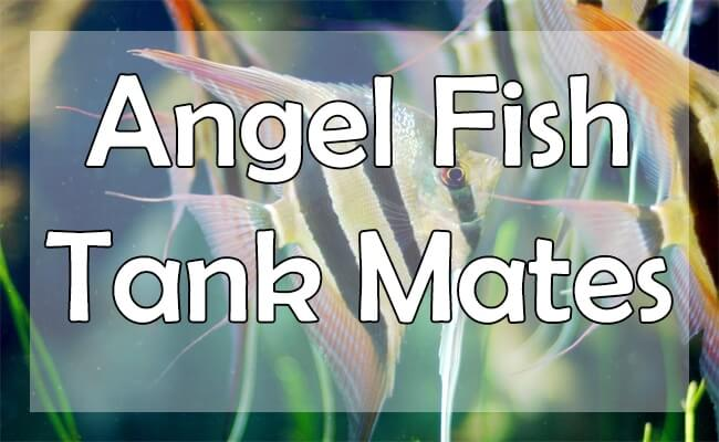 angel fish tank mates