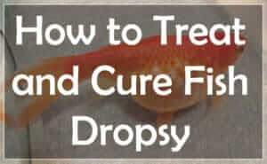 Treating Fish Dropsy with Proven Methods