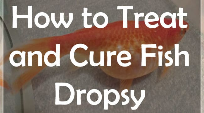 5+ Ways | How to Treat and Cure Fish Dropsy?
