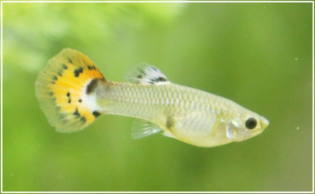 How To Take Care Guppy Fry Properly – Ultimate Care Guide