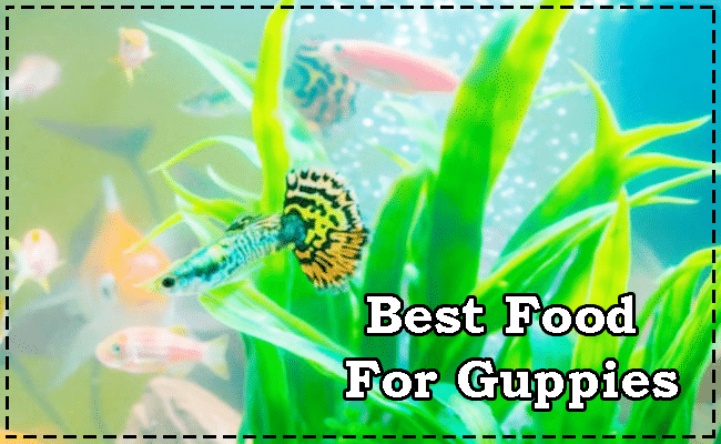 Best Food For Guppies