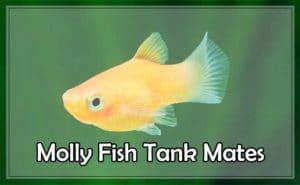 Molly Fish Tank Mates(Live Bearing,Bottom Feeder & Non live Bearer)