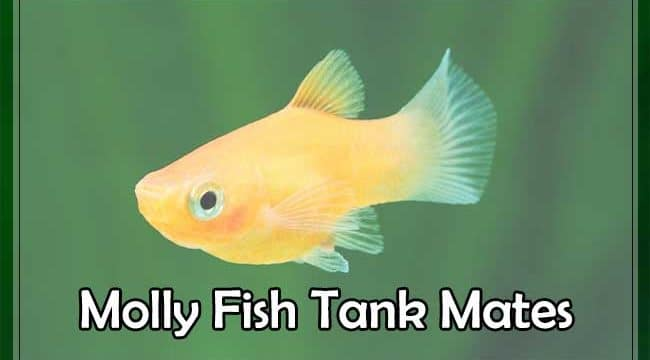 Molly Fish Tank Mates(Live Bearing,Bottom Feeder & Non live Bearer)