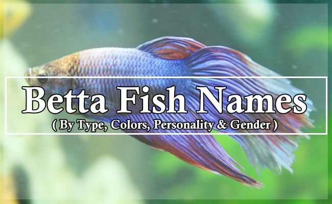 1.3K Betta Fish Names By Type, Colors, Personality & Gender