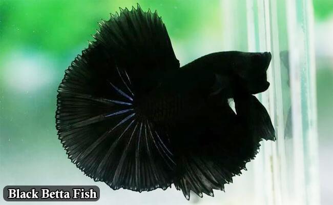 Black Betta fish