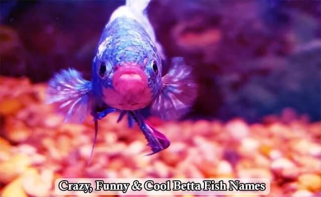 Crazy, Funny & Cool Betta Fish Names