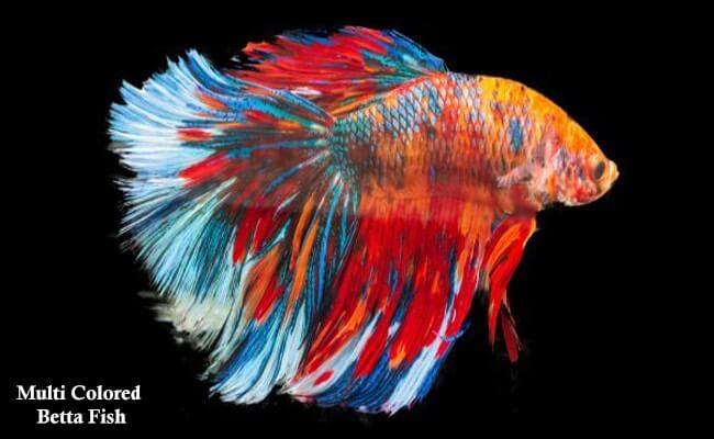 Multi Colored betta Fish