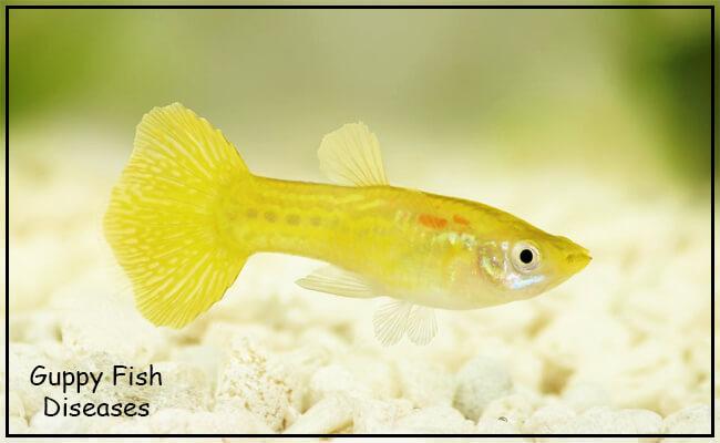 guppy fish diseases