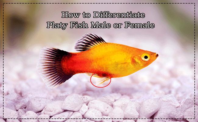 platy fish male or female