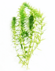 Anacharis Egeria Elodea Densa Tropical Live Aquarium Aquatic Plant
