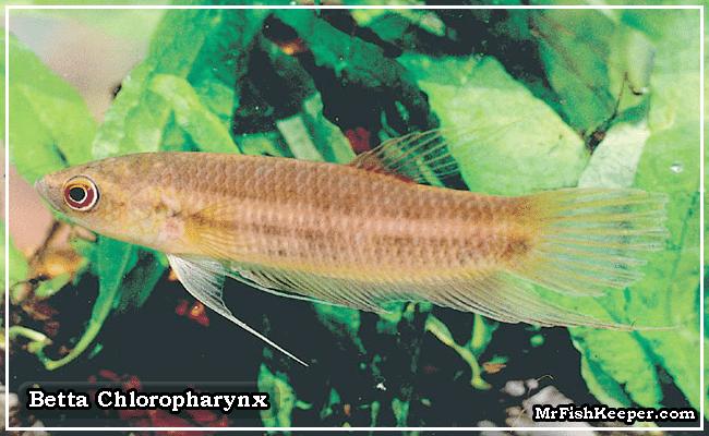 Betta Chloropharynx