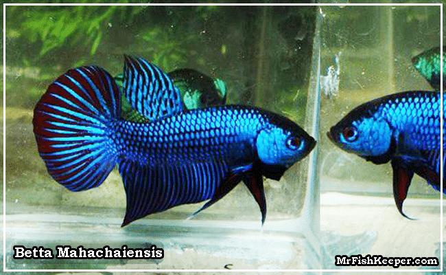 Betta Mahachaiensis