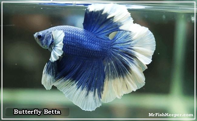 Butterfly Betta