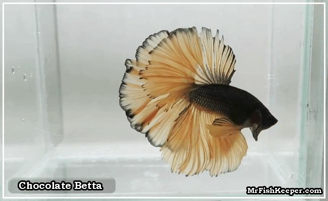 Chocolate Betta Fish