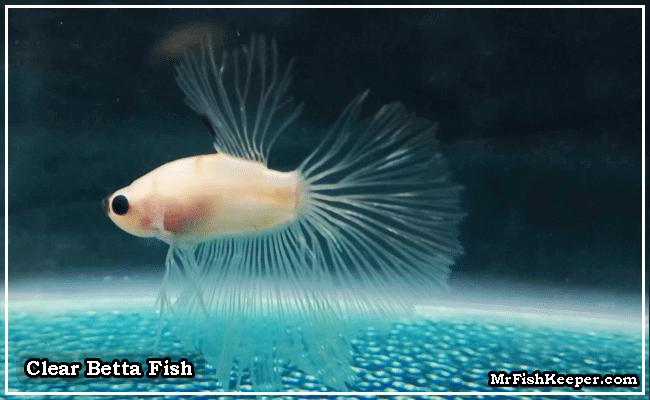 Clear Betta Fish