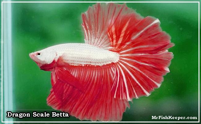 Dragon Scale Betta