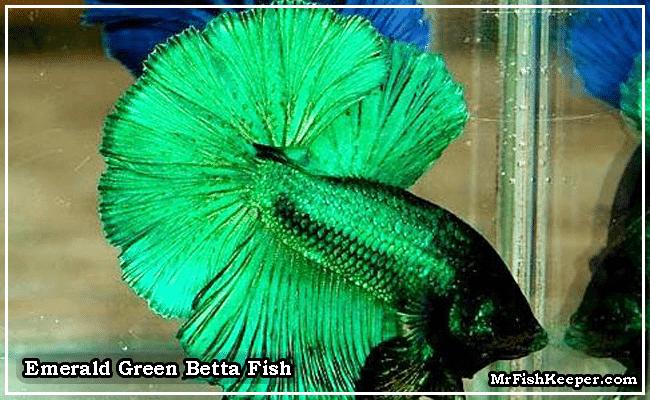 Emerald Green Betta fish